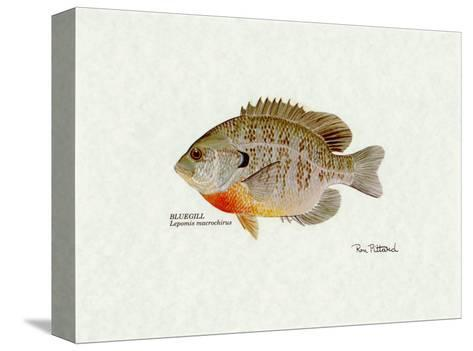 Bluegill Fish-Ron Pittard-Stretched Canvas Print