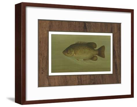 Rock Bass-Harris-Framed Art Print