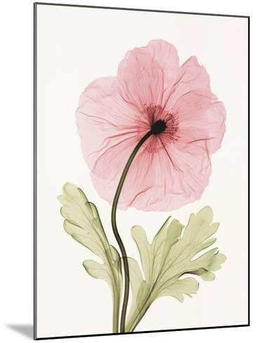 Iceland Poppy I-Steven N^ Meyers-Mounted Art Print
