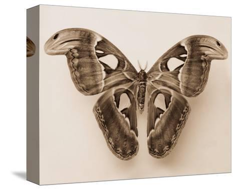 Attacus Atlas-Raquel Edwards-Stretched Canvas Print