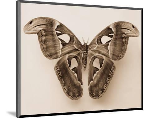 Attacus Atlas-Raquel Edwards-Mounted Art Print