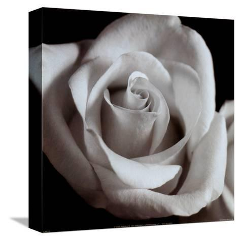Open Rose--Stretched Canvas Print