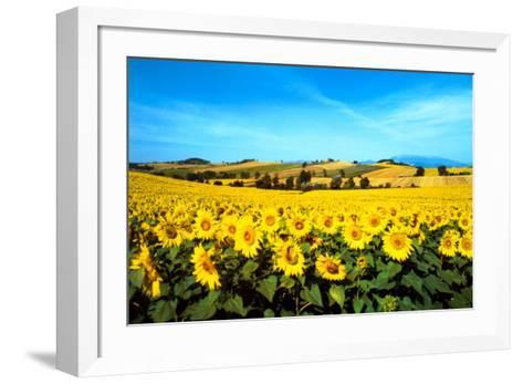 Sunflowers Field, Umbria-Philip Enticknap-Framed Art Print