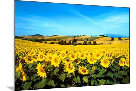 Sunflowers Field, Umbria-Philip Enticknap-Mounted Art Print