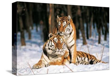 Tigres-Gilles Santantonio-Stretched Canvas Print