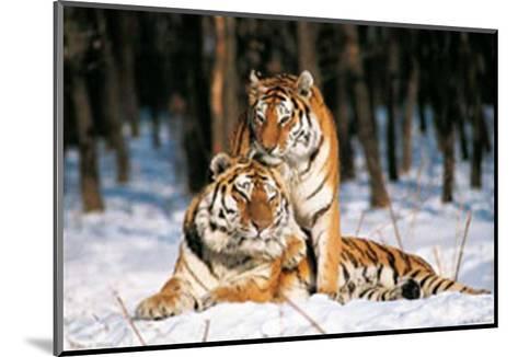 Tigres-Gilles Santantonio-Mounted Art Print