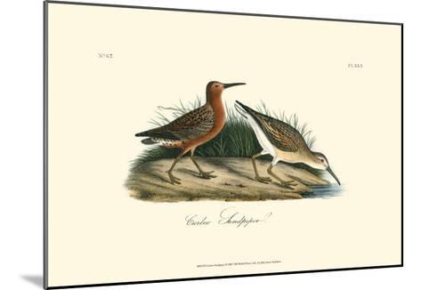 Curlew Sandpiper-John James Audubon-Mounted Art Print