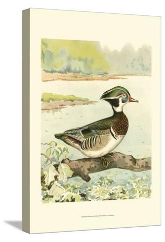 Woodduck Male- Ridgway-Stretched Canvas Print
