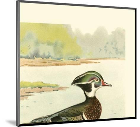 Woodduck Male- Ridgway-Mounted Art Print