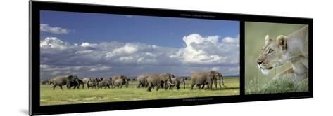 Elephants and Lioness-Michel & Christine Denis-Huot-Mounted Art Print