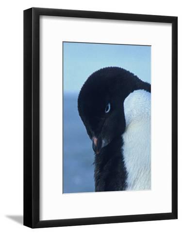 Blue-Eyed Adelie Penguin-Charles Glover-Framed Art Print