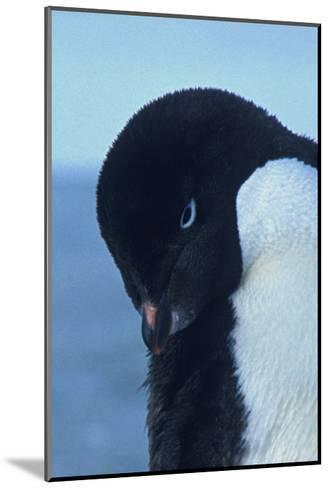 Blue-Eyed Adelie Penguin-Charles Glover-Mounted Giclee Print