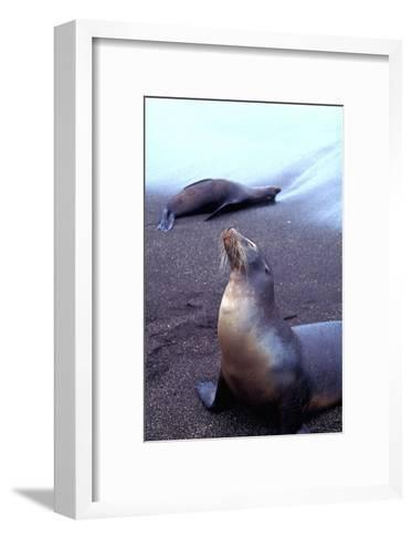 Stretching Seal, Galapagos-Charles Glover-Framed Art Print