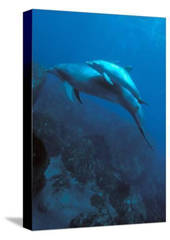Mother and Baby Dolphins-Charles Glover-Stretched Canvas Print