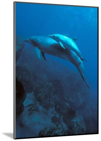 Mother and Baby Dolphins-Charles Glover-Mounted Art Print