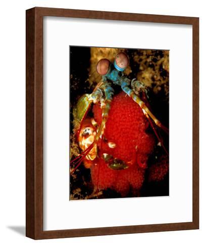 Mantis Shrimp Holding Eggs, Sulawesi-Charles Glover-Framed Art Print
