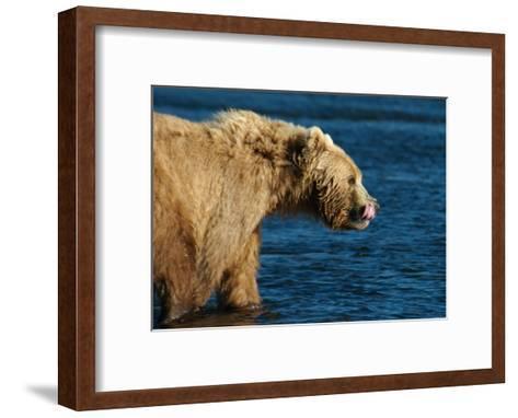 Kodiak Bear Lick-Charles Glover-Framed Art Print