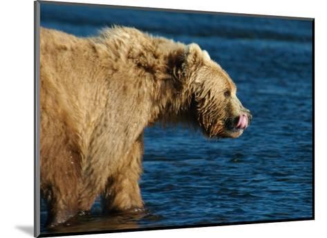 Kodiak Bear Lick-Charles Glover-Mounted Giclee Print