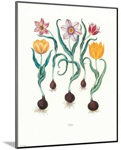 Tulipa--Mounted Art Print