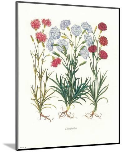 Caryophyllus--Mounted Art Print