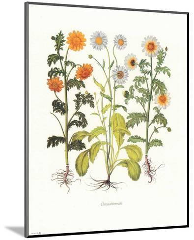 Chrysantemum--Mounted Art Print