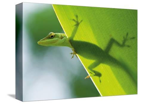 Here's Looking at You Kid, Hawaiian Green Gecko-Devon Stevens-Stretched Canvas Print