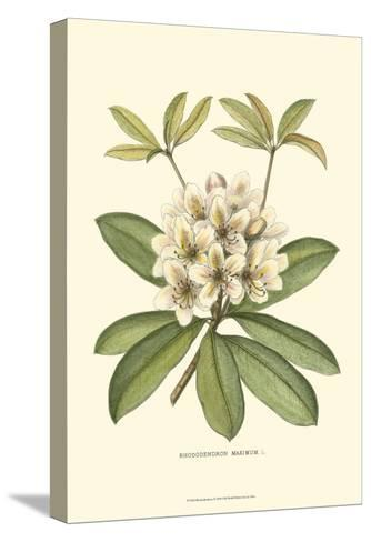 Rhododendron--Stretched Canvas Print