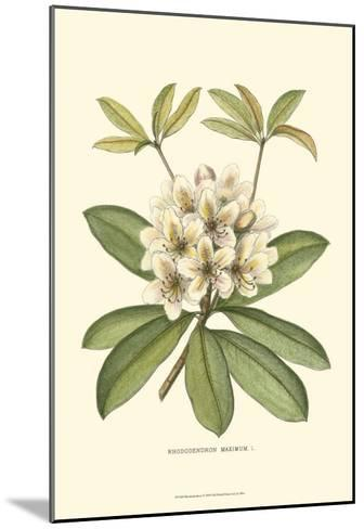 Rhododendron--Mounted Art Print