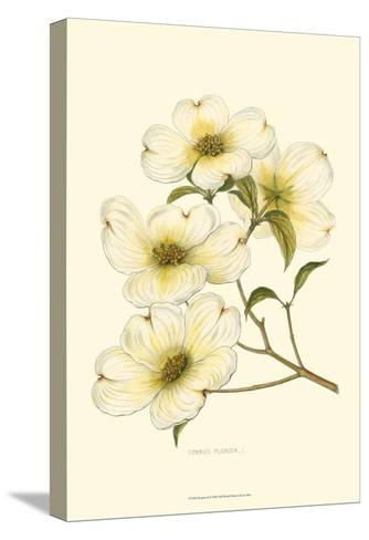 Dogwood--Stretched Canvas Print