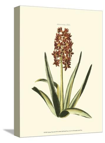 Antique Hyacinth XVI-Christoph Jacob Trew-Stretched Canvas Print