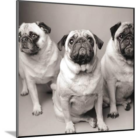 Three Pugs-Amanda Jones-Mounted Art Print