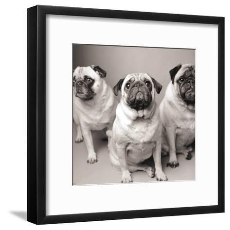 Three Pugs-Amanda Jones-Framed Art Print