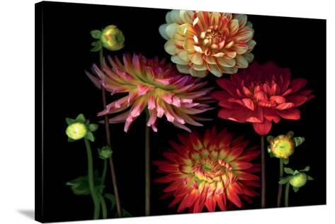 Dahlia Garden-Pip Bloomfield-Stretched Canvas Print