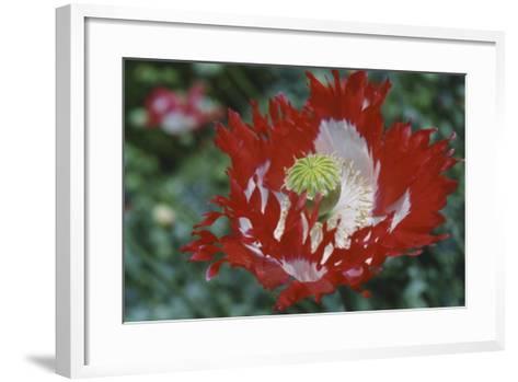Raglin Red Poppy-Meg Mccomb-Framed Art Print