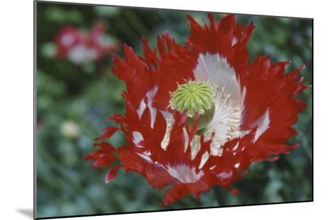 Raglin Red Poppy-Meg Mccomb-Mounted Giclee Print