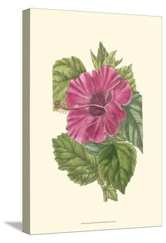 Antique Hibiscus II-Drake-Stretched Canvas Print