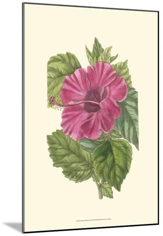 Antique Hibiscus II-Drake-Mounted Art Print