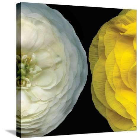 Ranunculus Right-Pip Bloomfield-Stretched Canvas Print