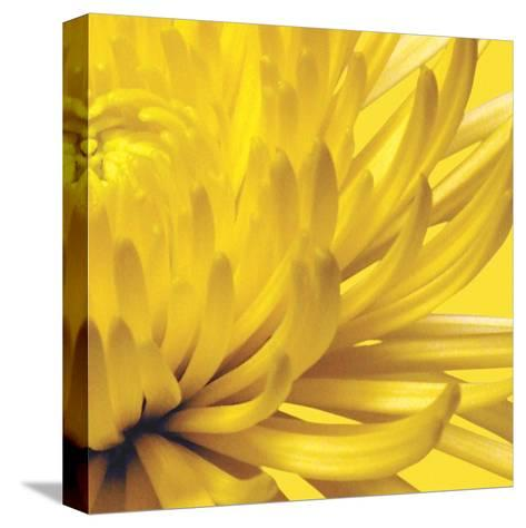 Yellow Mum II-Jenny Kraft-Stretched Canvas Print