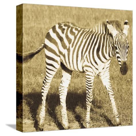 Young Zebra-Susann Parker-Stretched Canvas Print