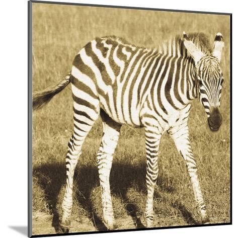 Young Zebra-Susann Parker-Mounted Art Print