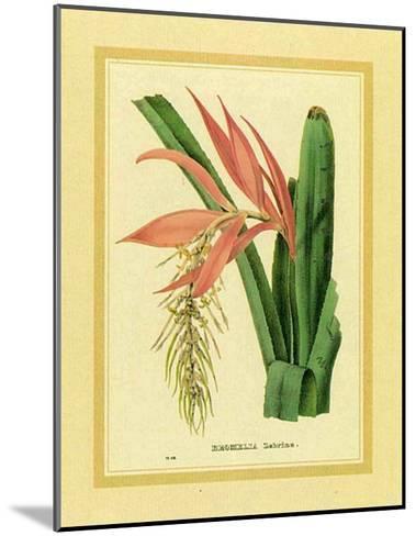 Bromelia Zebrina-C. Van Geel-Mounted Art Print