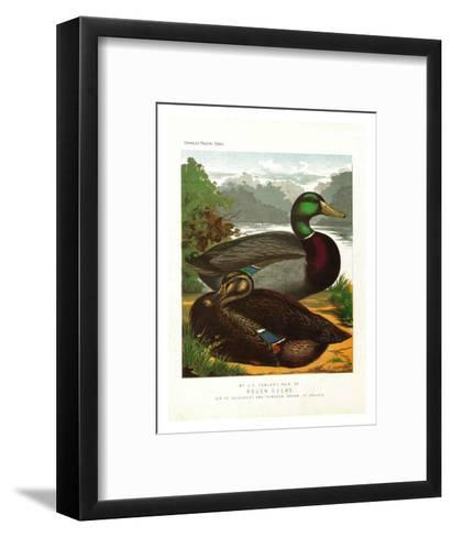 Rouen Ducks--Framed Art Print
