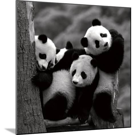 Pandas-Danita Delimont-Mounted Art Print