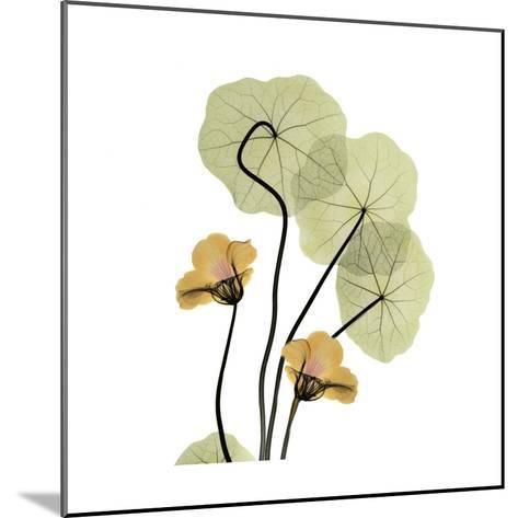 Nasturtium Bouquet-Albert Koetsier-Mounted Art Print