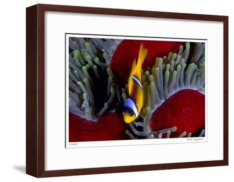 Red Sea Anemonefish-Jones-Shimlock-Framed Art Print