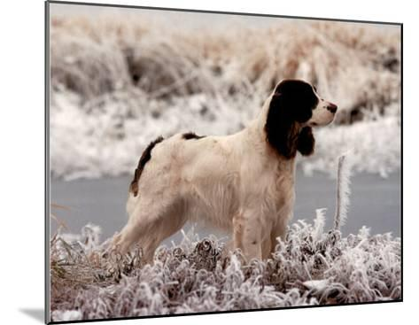 Springer (In Snow)--Mounted Mini Poster