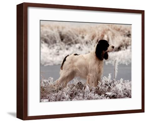 Springer (In Snow)--Framed Art Print