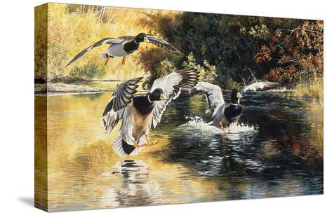 Golden Pond Mallards-Andrew Kiss-Stretched Canvas Print