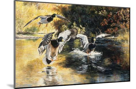 Golden Pond Mallards-Andrew Kiss-Mounted Art Print